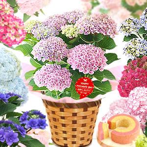 母の日のプレゼント あじさい鉢植え&苺ミニバウムクーヘン