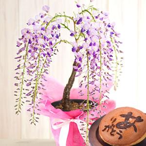 母の日のプレゼント 藤盆栽