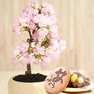 母の日のプレゼント 桜盆栽