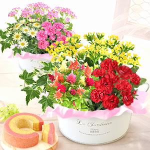 母の日のプレゼント 4種の生花入りブリキポット寄せ植え&苺ミニバウムクーヘン