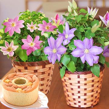 母の日のプレゼント 2色のクレマチス鉢植え&シフォンケーキセット