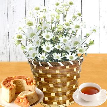 母の日のプレゼント フランネルフラワー鉢植え&シフォンケーキセット