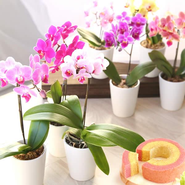 母の日のプレゼント 選べる5種!ミディ胡蝶蘭&バウムクーヘンセット