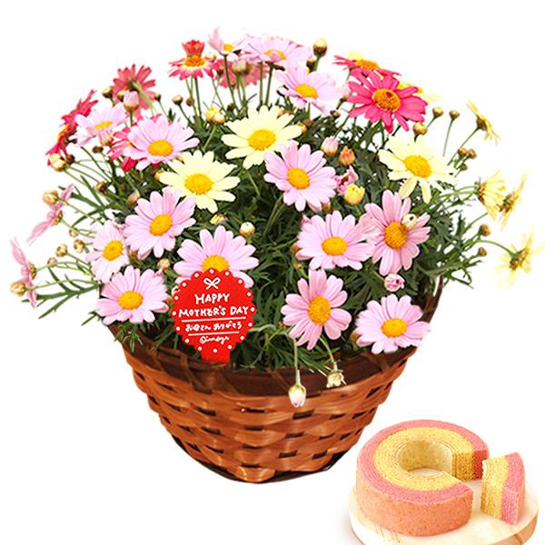 母の日のプレゼント 3色のマーガレット寄せ植え&お芋シフォンケーキセット