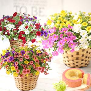 母の日のプレゼント 選べるペチュニアの鉢植え&スイーツ